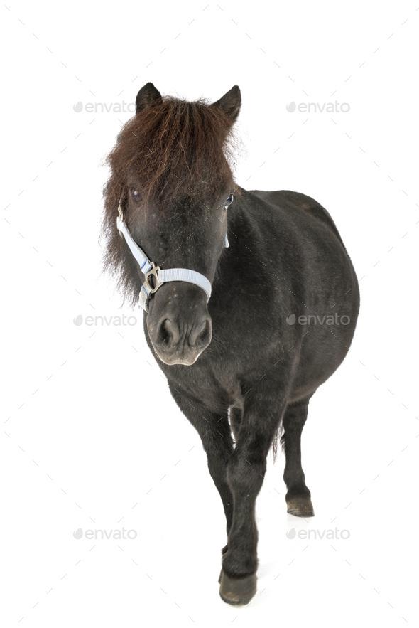 miniature horse in studio - Stock Photo - Images