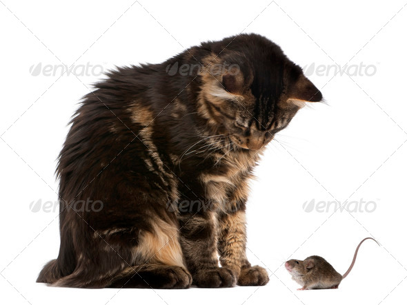 Maine Coon looking at wild mouse, 7 months old, in front of white background - Stock Photo - Images