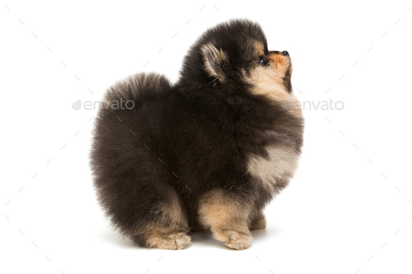 Black Pomeranian Puppy Side View Stock