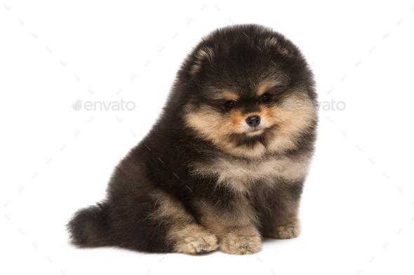 Black Pomeranian puppy - Stock Photo - Images