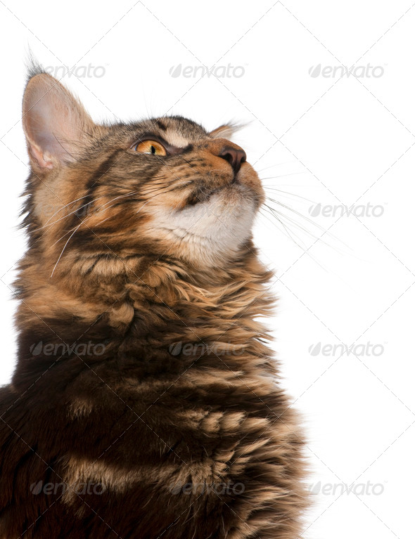 Close-up of Maine Coon, 7 months old, looking up in front of white background - Stock Photo - Images