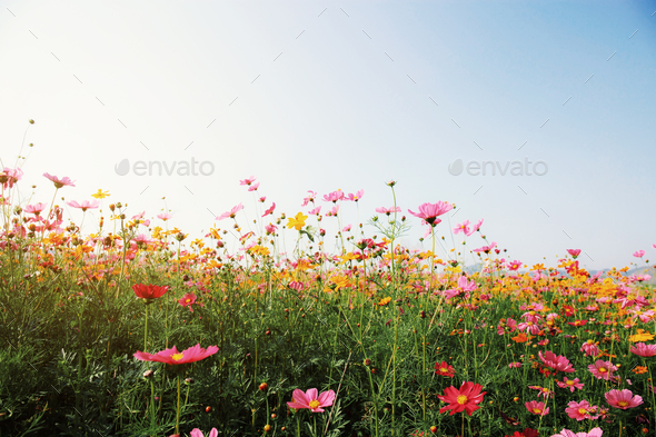 Colorful of cosmos with sunrise - Stock Photo - Images