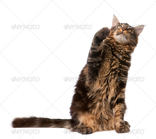 Maine Coon looking up with paw in air, 7 months old, in front of white background - Stock Photo - Images