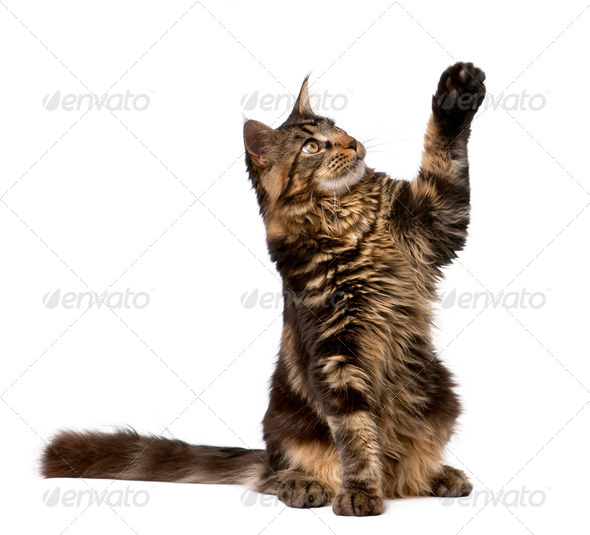 Maine Coon with paw in air, 7 months old, in front of white background - Stock Photo - Images