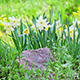 Narcissus On Flower Bed - VideoHive Item for Sale