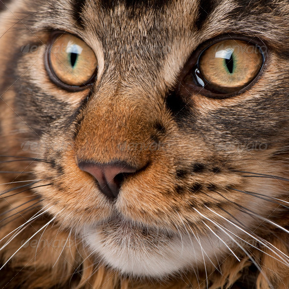 Close-up of Maine Coon's face with whiskers, 7 months old - Stock Photo - Images