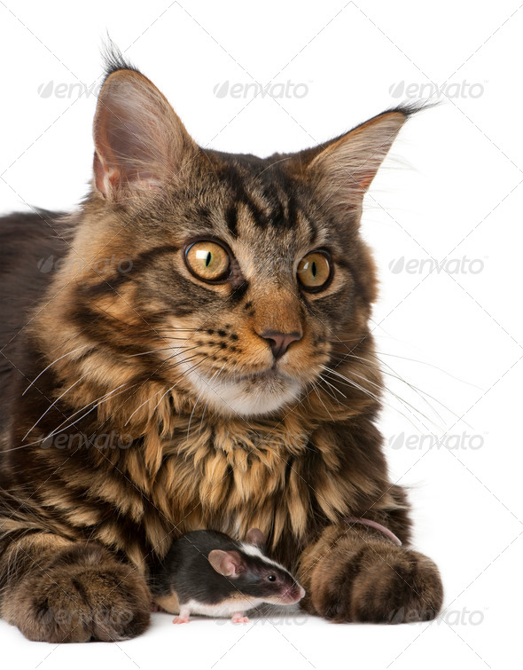 Maine Coon and mouse, 7 months old, sitting in front of white background - Stock Photo - Images