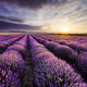 Sunrise and dramatic clouds over lavender field - PhotoDune Item for Sale