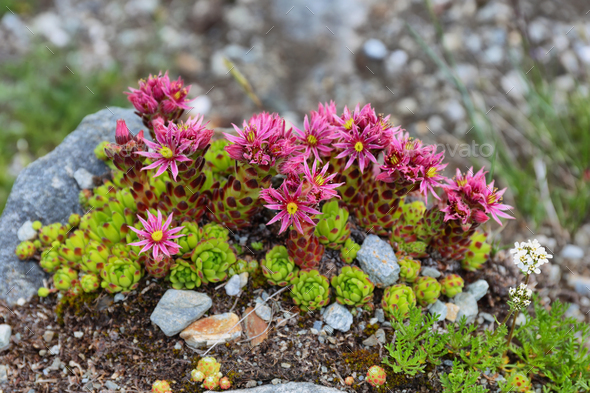 Alpine wild flower Thymus praecox, known as mother of thyme - Stock Photo - Images