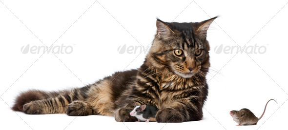 Maine Coon and mice, 7 months old, sitting in front of white background - Stock Photo - Images