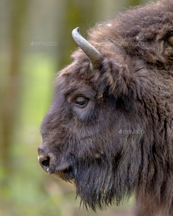 Sideview portrait of Wisent bull - Stock Photo - Images