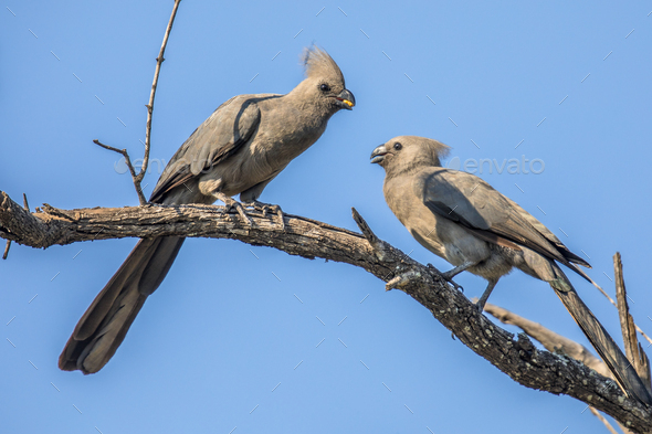 Grey go away birds couple - Stock Photo - Images