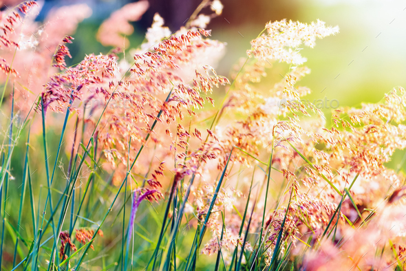 Sunset at field flower grass - Stock Photo - Images
