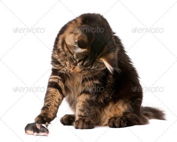 Maine Coon looking at mouse, 7 months old, in front of white background - Stock Photo - Images