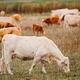 Cows on pasture - PhotoDune Item for Sale