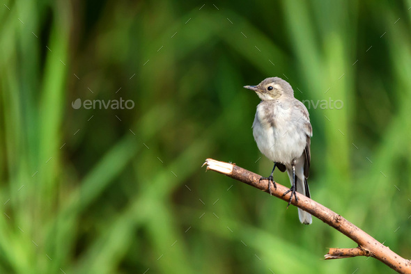 Juvenile white wagtail or Motacilla alba perches on twig - Stock Photo - Images