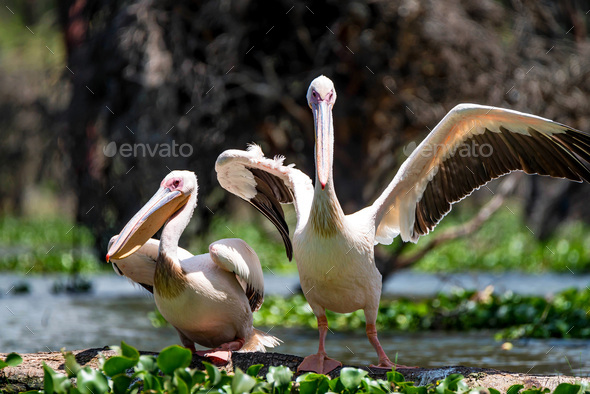 Two great white pelicans or Pelecanus onocrotalus - Stock Photo - Images