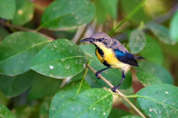 Purple sunbird or Cinnyris asiaticus - Stock Photo - Images