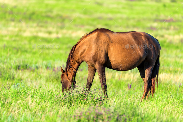 Wild horse grazing on summer meadow - Stock Photo - Images