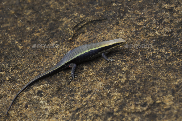 Bronze grass skink - Stock Photo - Images