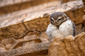 Spotted owlet or Athene brama - PhotoDune Item for Sale