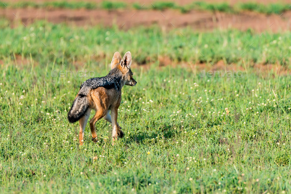 Black-backed jackal or Canis mesomelas on grass - Stock Photo - Images