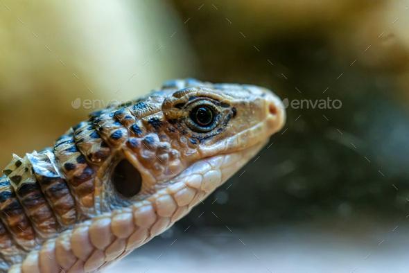 Close up head of Sudan plated lizard or Gerrhosaurus major - Stock Photo - Images