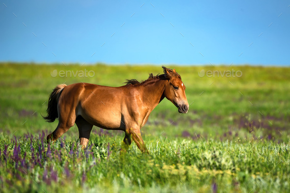 Foal of wild horses grazing on summer meadow - Stock Photo - Images