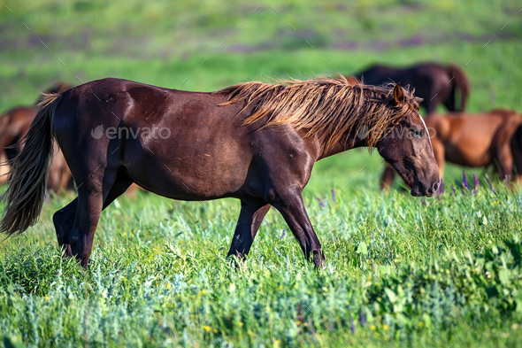 Wild foal and mare horses grazing on summer meadow - Stock Photo - Images