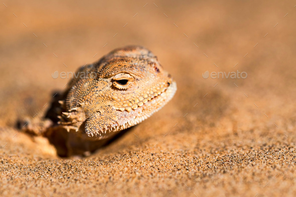 Spotted toad-headed Agama buried in sand close - Stock Photo - Images