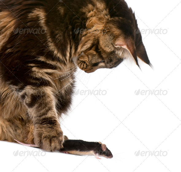 Maine Coon petting mouse, 7 months old, in front of white background - Stock Photo - Images