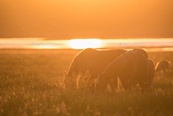 Wild horses grazing on summer meadow at sunset - Stock Photo - Images