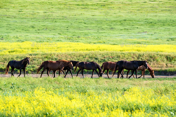 Wild horses grazing on summer meadow - Stock Photo - Images