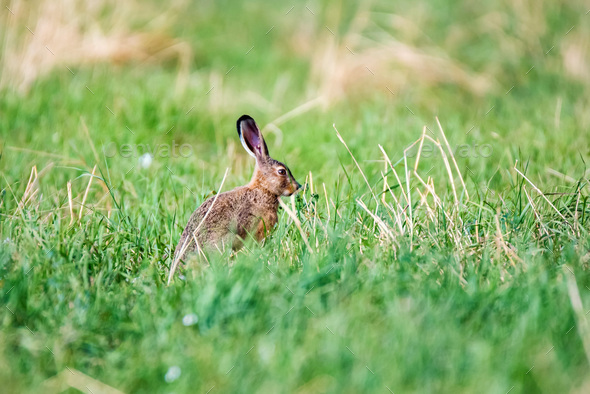 Alert European hare or Lepus europaeus sits in a meadow - Stock Photo - Images