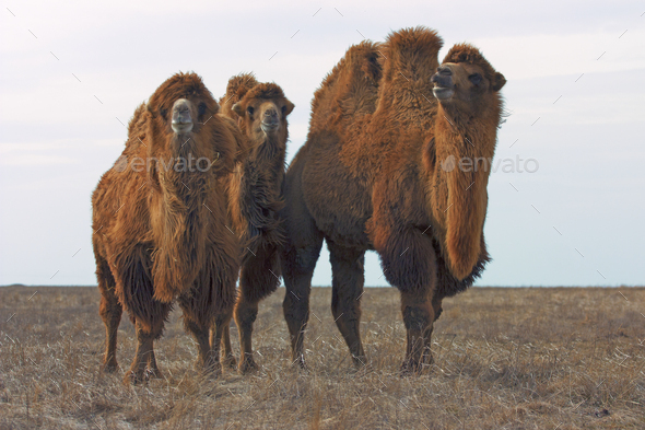 Bactrian camels (Camelus bactrianus - Stock Photo - Images