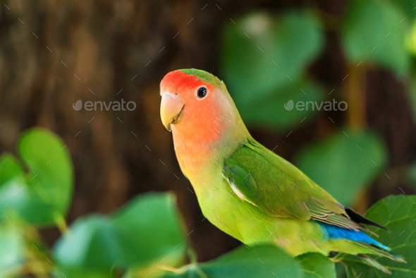 Rosy-faced lovebird perches on branch close up - Stock Photo - Images