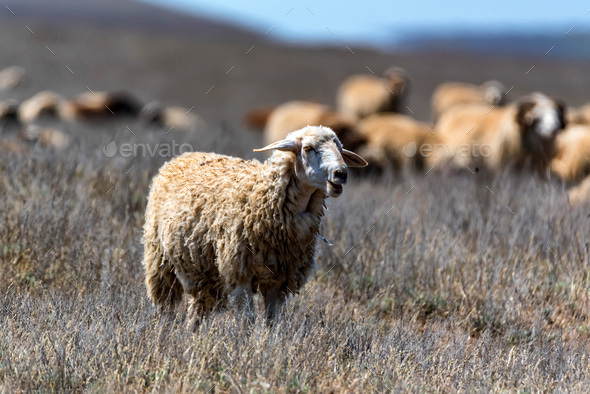 Flock of sheep graze in steppe - Stock Photo - Images