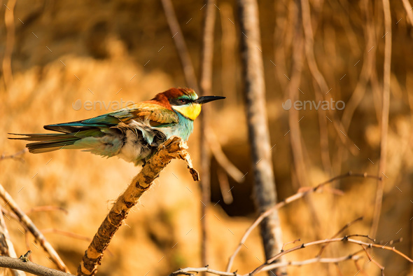 Exotic bird European bee-eater or Merops apiaster - Stock Photo - Images