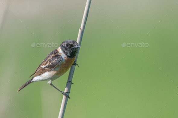 Male Europian stonechat - Stock Photo - Images