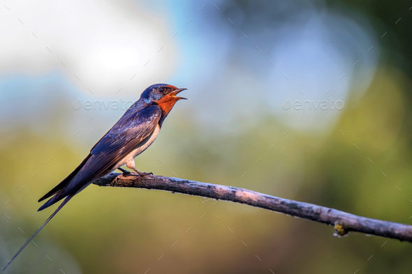 Barn Swallow or Hirundo rustica sits on tree - Stock Photo - Images