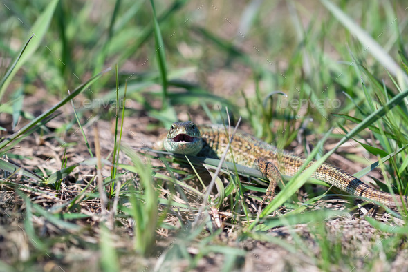Portrait of happy quick lizard in grass - Stock Photo - Images