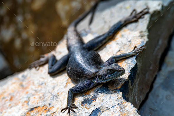 Female Mwanza flat-headed rock agama or Agama mwanzae - Stock Photo - Images