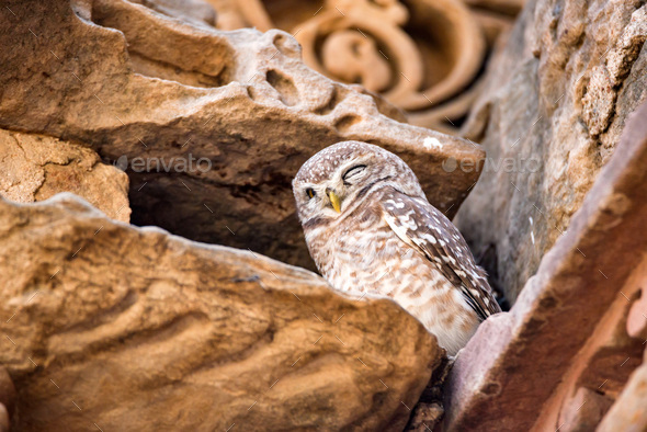 Spotted owlet or Athene brama - Stock Photo - Images