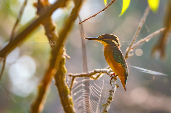 Kingfisher or Alcedo atthis perches on branch - Stock Photo - Images