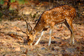 Spotted deer or Axis in national park Ranthambore - PhotoDune Item for Sale