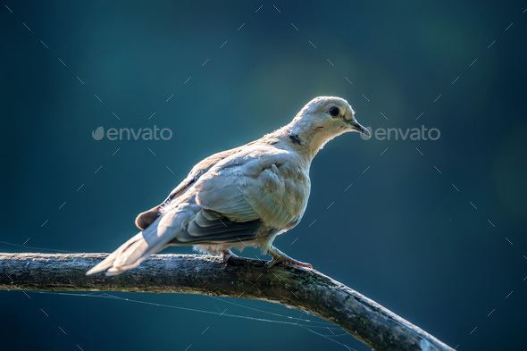 Collared dove or Streptopelia decaocto on branch - Stock Photo - Images