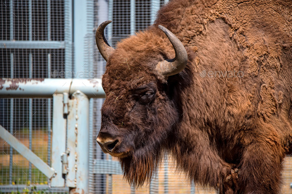 Wisent or European bison - Stock Photo - Images