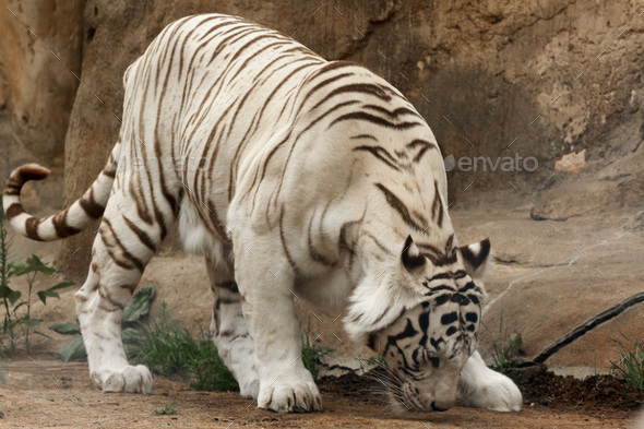 White tiger ( Panthera tigris - Stock Photo - Images
