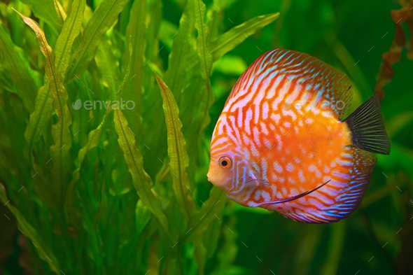 Discus in aquarium - Stock Photo - Images