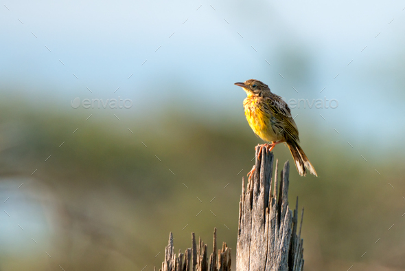Sharpe's Pipit or Macronyx sharpei - Stock Photo - Images